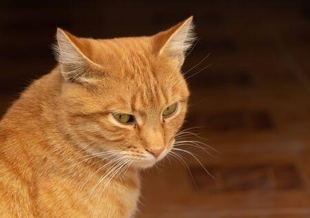 The lovely cat portrait close up with copy space. Reklamní fotografie
