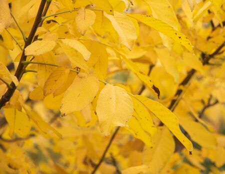 A walnut tree with yellow leaves in autumn. Stok Fotoğraf - 132615137
