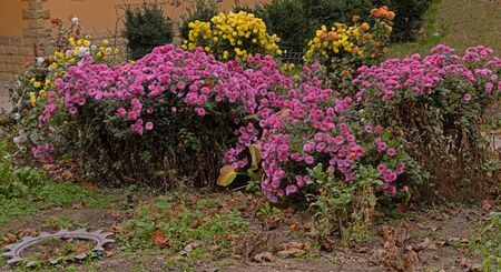 Pink and yellow chrysanthemums blooming in the garden