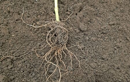 A tomato seedling roots. How to plant tomatoes concept.