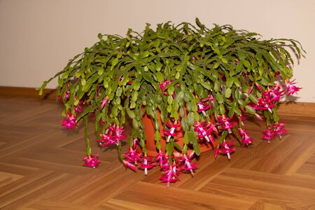 Huge Christmas cactus in bloom with many flowers