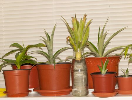 Propagation pineapple top in water, growing pineapple at home.