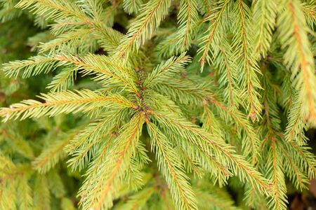 Fir branches with beautiful needles close up