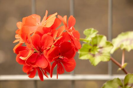 Red pelargonium in bloom close up, very beautiful flower. How to grow pelargoniums concept.