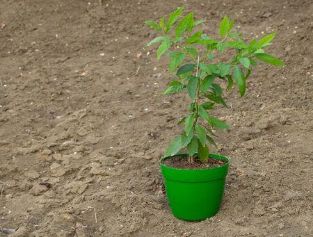 Solanum pseudocapsicum decorative plant, How to care for it concept.