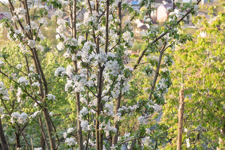 Apple tree in beautiful white-pink bloom, Selective focus. Standard-Bild