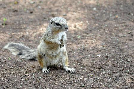 xerus inauris: Ground squirrel (Xerus inauris) in the Kalahari. South Africa.