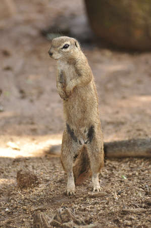 xerus inauris: Standing ground squirrel (Xerus inauris) in the Kalahari. South Africa.