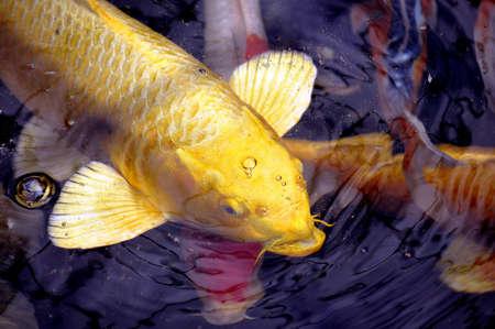 pez carpa: Koi pescado a la espera de ser alimentado.