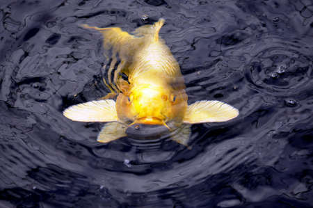 Koi fish in black pond waiting to be fed, photo