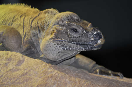 Rhinoserus Iguana closeup.