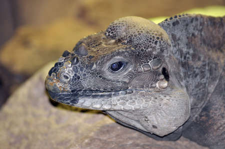 reptillian: Iguana portrait.