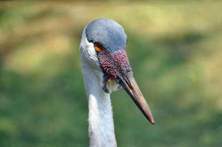 Wattled Crane (Bugeranus carunculatus) portrait. Stock Photo - 8750954