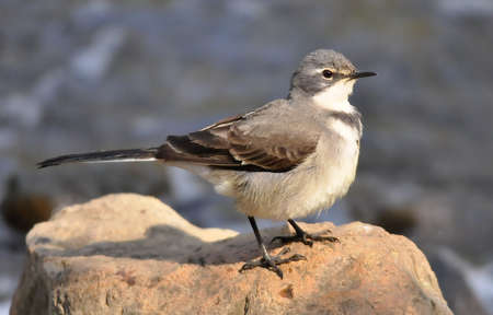 wagtail: Cape Wagtail Stock Photo