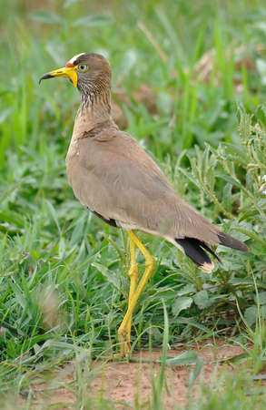 wattled: African Wattled Plover Stock Photo