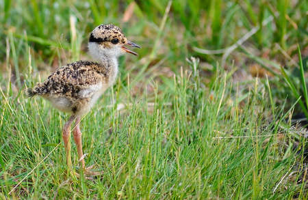 plover: Crowned Plover chick