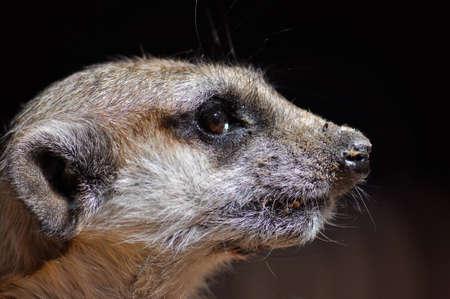 suricate: Suricate Portrait Stock Photo