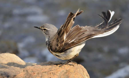 wagtail: Cape Wagtail Archivio Fotografico