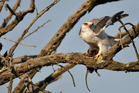 shouldered: Black Shouldered Kite Stock Photo