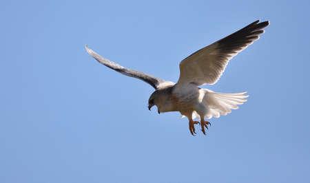 shouldered: Black-shouldered Kite