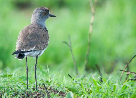 lapwing: Black-winged Lapwing