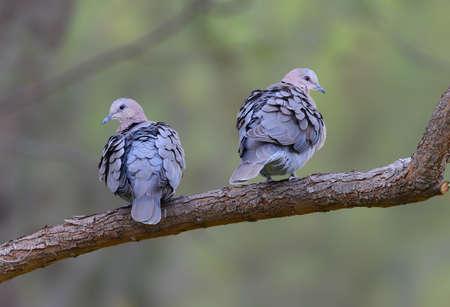 turtle dove: Cape Turtle Dove