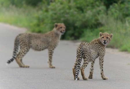 cubs: Cheetah Cubs Stock Photo