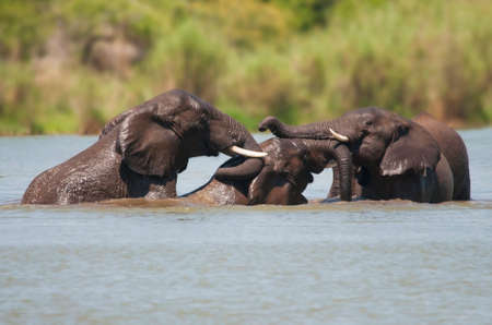 Elephants Bathing photo