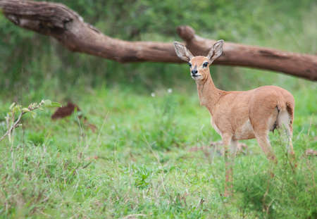 kruger park: Steenbok Ram in Kruger Park Stock Photo