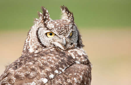 spotted: Spotted Eagle Owl portrait
