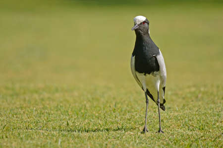 plover: Black Smith Plover on grass