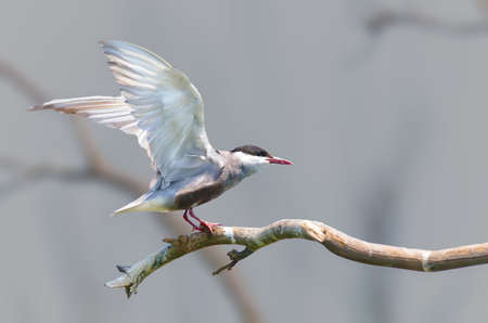 Whiskered Tern Stock Photo