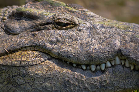 the nile: Nile Crocodile portrait