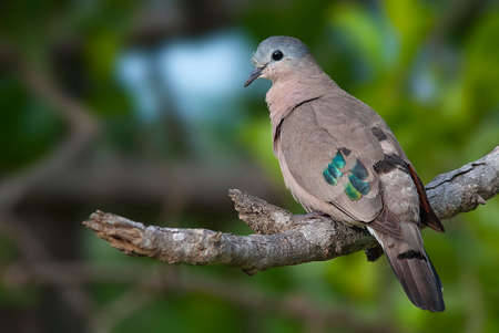 Emerald Spotted Bois Colombe