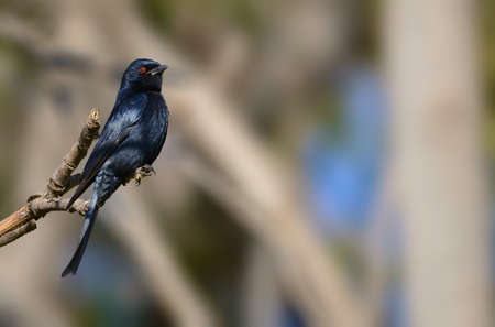tailed: Fork Tailed Drongo