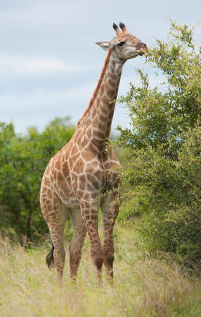 kruger park: Giraffe in Kruger Park Stock Photo