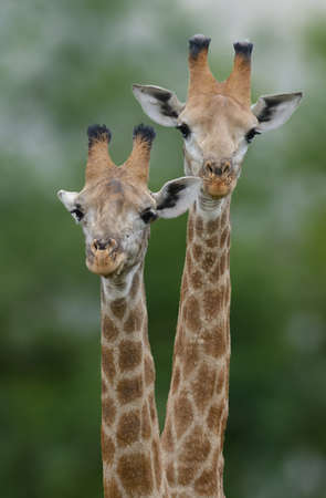 a pair of: Giraffe Pair Stock Photo