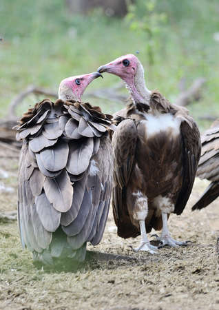hooded: Hooded Vultures
