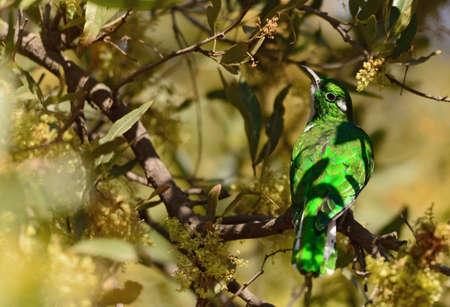 cuckoo: Klaas Cuckoo