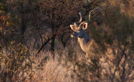 kruger: Kudu Bull