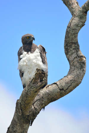 kruger park: Martial Eagle in Kruger Park Stock Photo