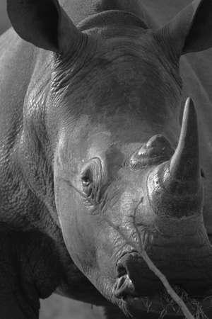 big 5: White Rhino