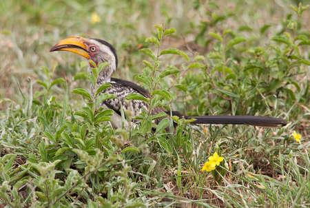 hornbill: Yellow Billed Hornbill