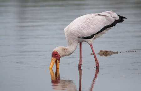 african stork: Yellow Billed Stork and Crocodile