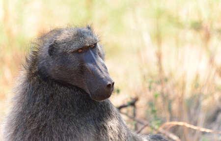 baboon: Chacma Baboon