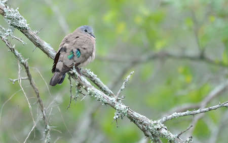 spotted: Emerald Spotted Wood Dove Stock Photo