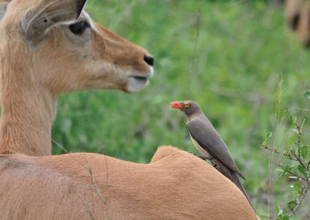 oxpecker: Red Billed Oxpecker on Impala