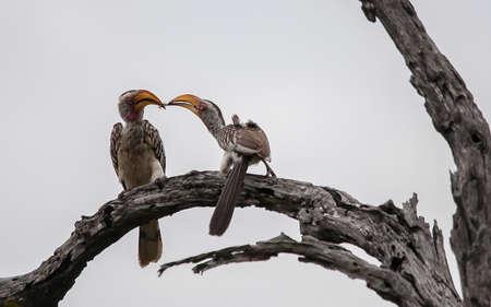 the pair: Yellow Billed Hornbill Pair Stock Photo