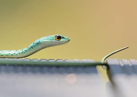 spotted: Spotted Bush Snake Stock Photo