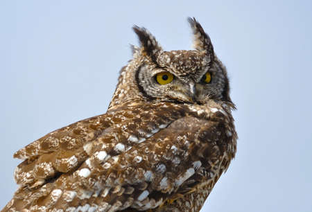 spotted: Spotted Eagle Owl